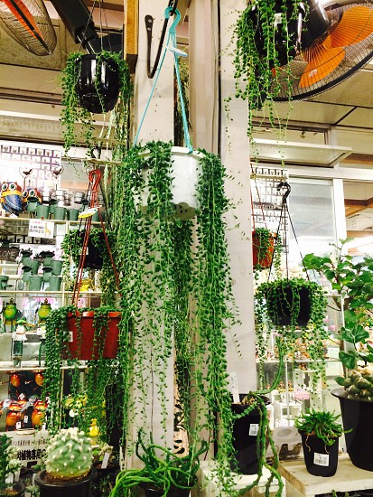 green hanging indoor plant on white flower pat hanging near white wall beside black and red flower pots photo