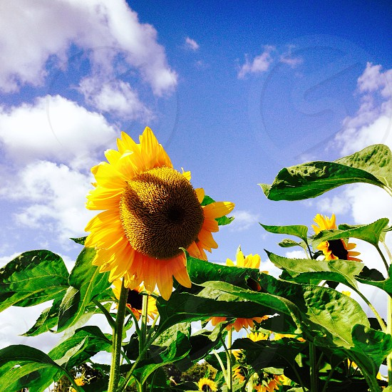 Sunflower blue sky sunflower field photo