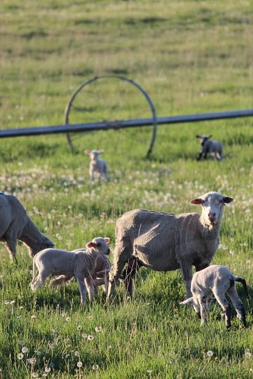 sheeps on grass area photo