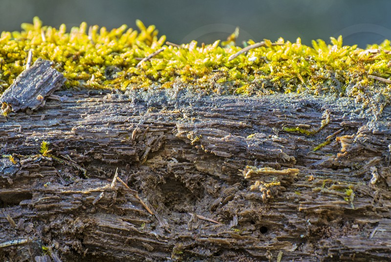 moss on a rotten tree photo