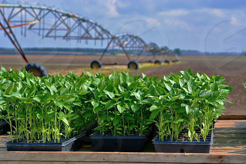 Trays of pepper plants on flatbed truck at the edge of farm field  large sprinklers in the distance photo