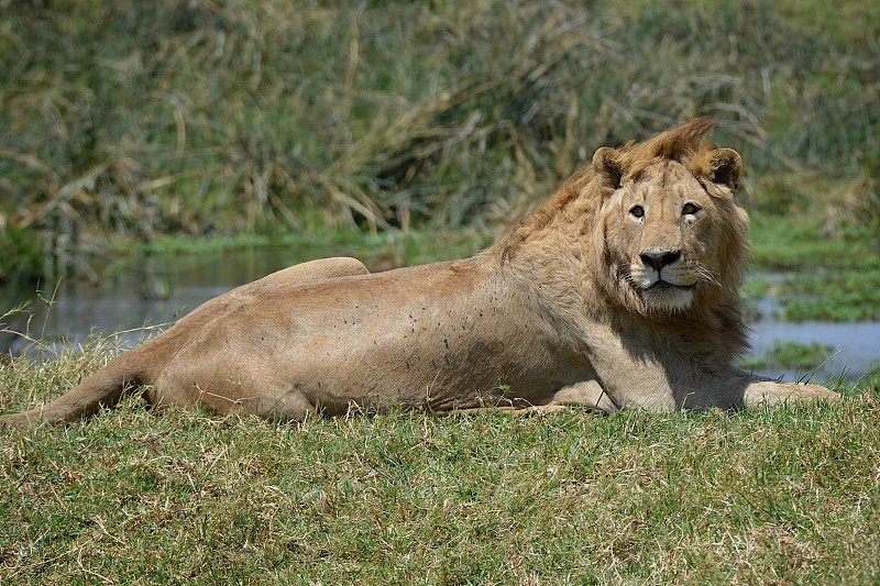 Lion Resting Africa African Safari Ngorongoro Crater Tanzania Wildlife Dangerous Animals Lazy Tired Young Big Mean Landscape Scenic photo