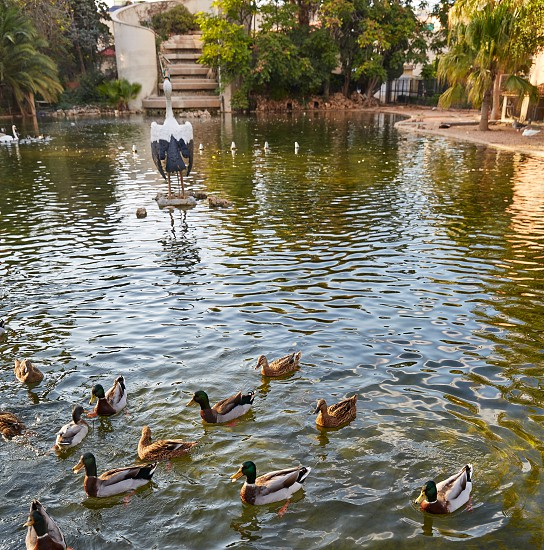Ducks in Viveros park pond of Valencia at Spain photo
