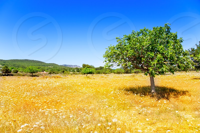 Ibiza mediterranean agriculture with fig tree and golden wheat photo