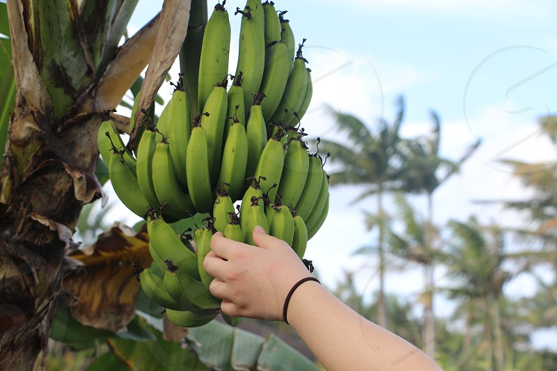 Banana bananas tree fruit farm one hand Hilo Hawaii green ripe big island photo