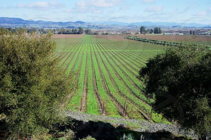 Vineyard Lines photo