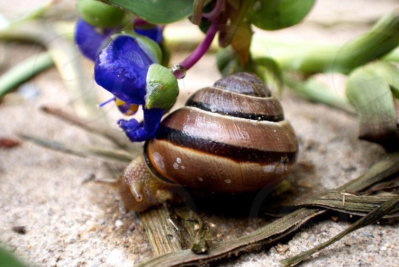 A little snail poking his head out of his shell next to a tiny blue flower.  photo