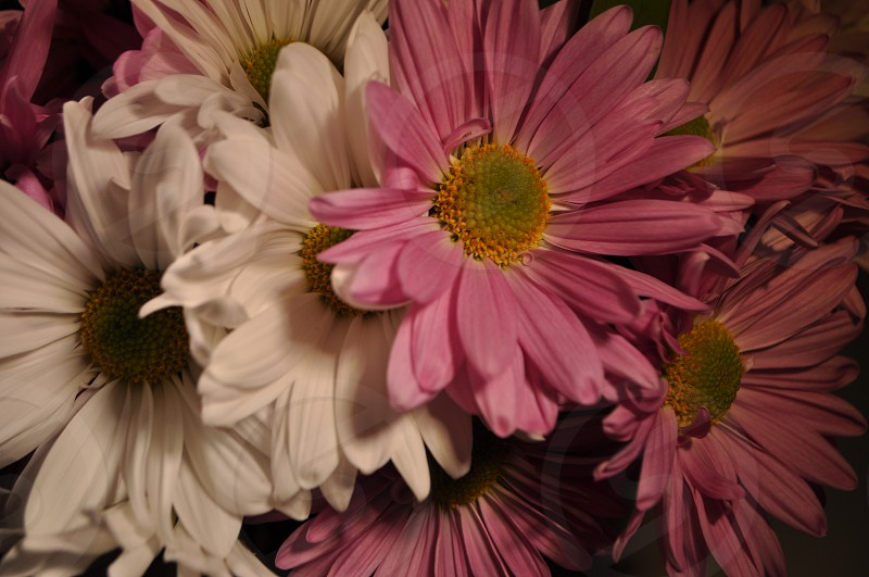 close up photography of pink and white Daisy flowers photo
