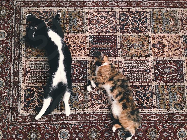 tuxedo cat and calico cat lying on carpet photo