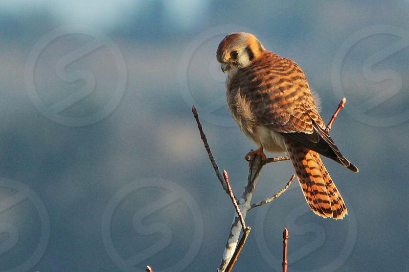 Kestrel bird of prey bird beautiful photo
