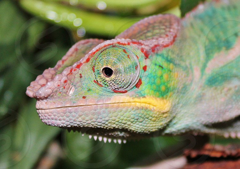 Nosy Be Panther Chameleon photo