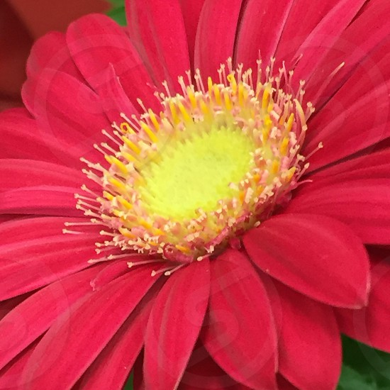 closeup photography of red Gerbera daisy flower photo
