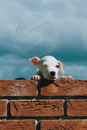 white short haired puppy photo