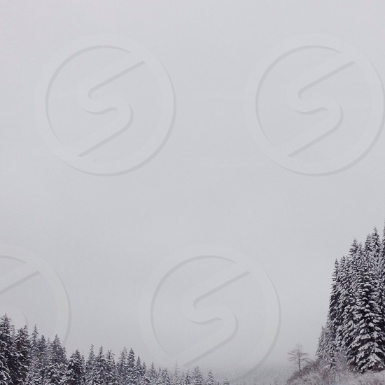 snow covered pin trees photo