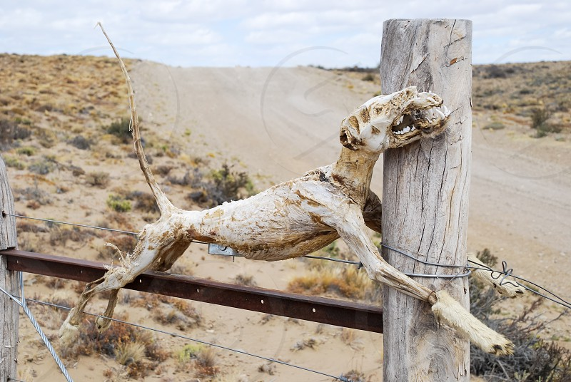 bones of the skeleton of a dead animal hanging on the door of a border or fence or wired on a southern Argentine rural route photo