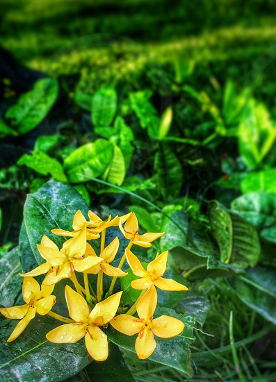 Ixora flowers flower nature garden photo