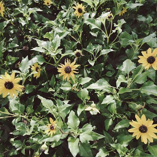 yellow daisy flowers during daytime photo