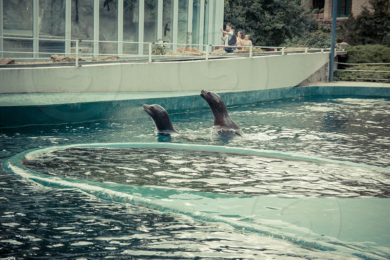 Seals swim and jump into the water at the zoo. photo