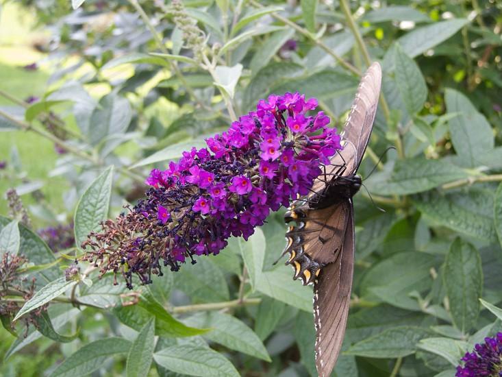 battus philenor on purple flower photo