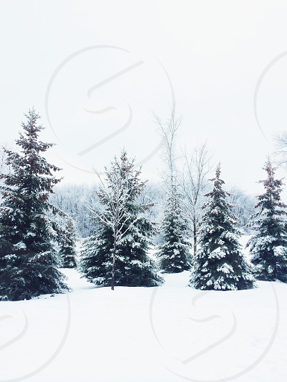view of snowy pine tree photo