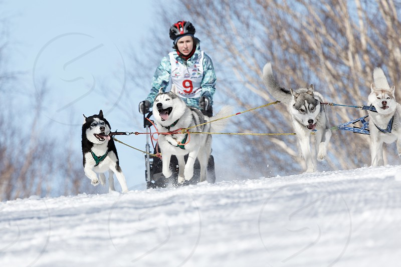 PETROPAVLOVSK-KAMCHATSKY KAMCHATKA PENINSULA RUSSIA - FEBRUARY 23 2017: Kamchatka Kids Competitions Sled Dog Race Dyulin (Beringia). Runs dog sled young Kamchatka musher Grishina Elizabeth. photo