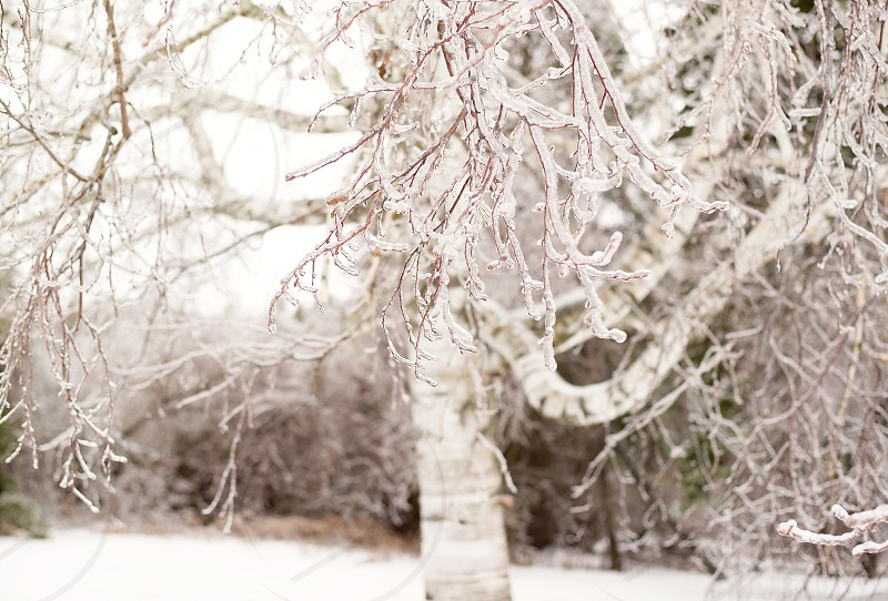 Birch tree in winter covered in ice. photo