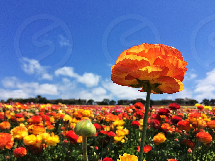 Be outstanding don't just stand out.  -ranunculus in the Carlsbad Flower Fields California photo