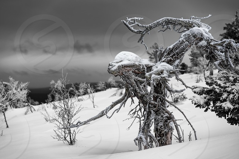 Frozen pine tree with an appearance of a wooden alien in the Finnish Lapland on a fell after a snow storm in February 2019. photo