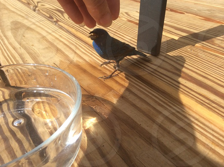 small blue bird on table hand reaching for bird photo