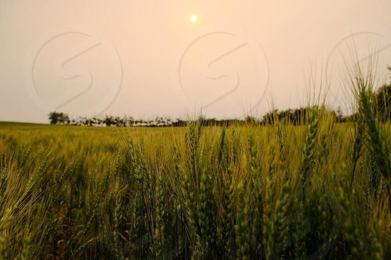 Wheat field on a smoky hazy sunset. photo