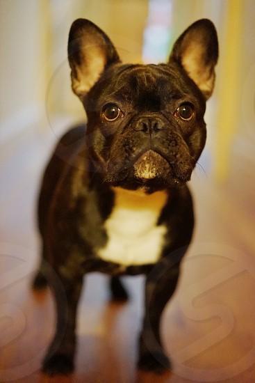 adult black and white French bulldog on focus photo photo