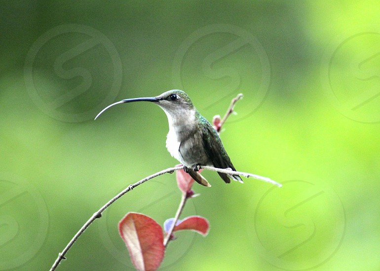 Hummingbird with her tongue out photo