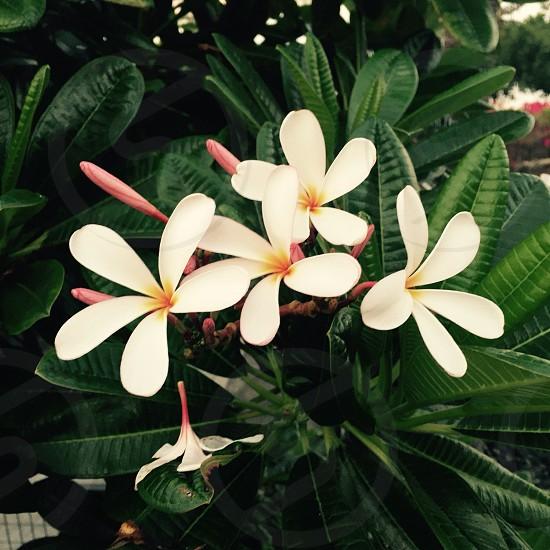 White plumerias photo