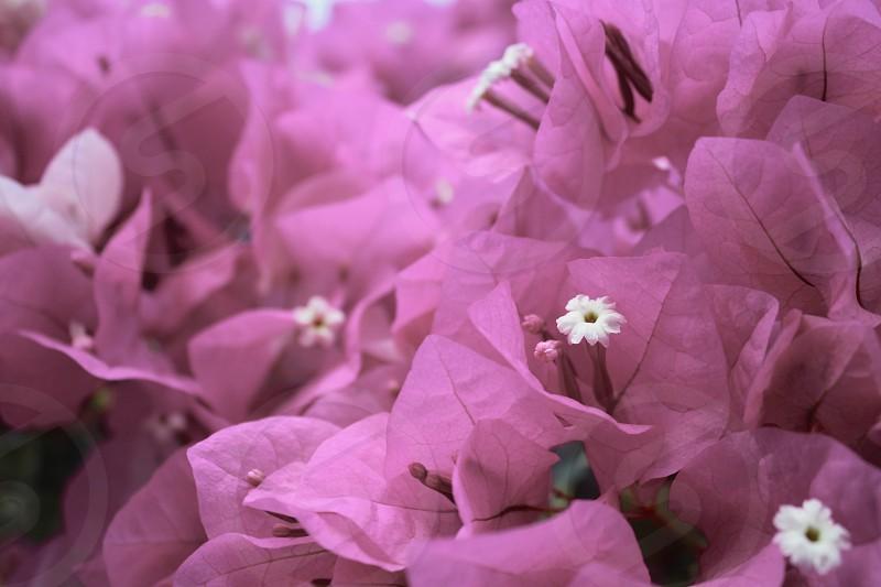 purple bougainvillea flower photo