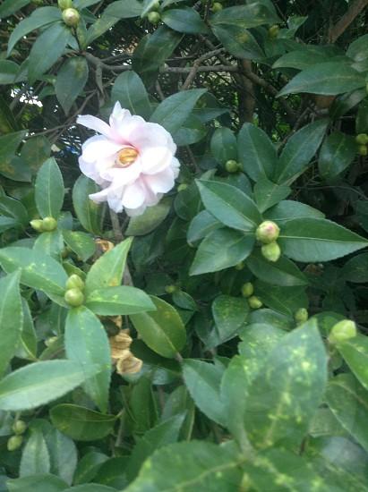 Camellia bush blooming photo