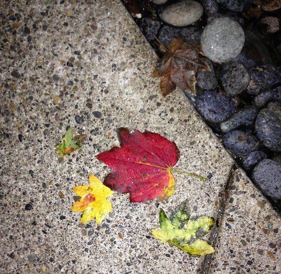 Leaves red yellow river rocks. photo