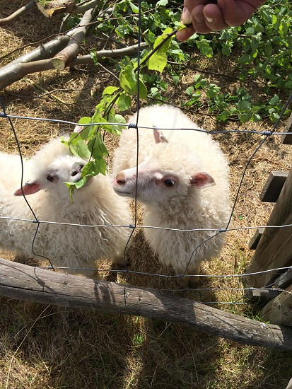 white 2 goats eating a green plant photo