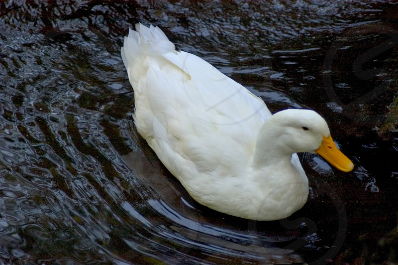 white duck paddling on water photo