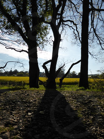 Three trees one shaddow photo