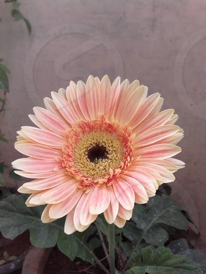 pretty sunflower... photo