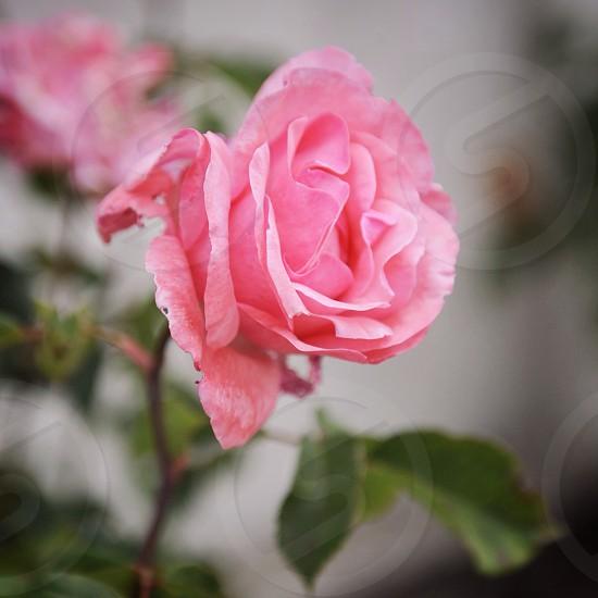 pink rose photo