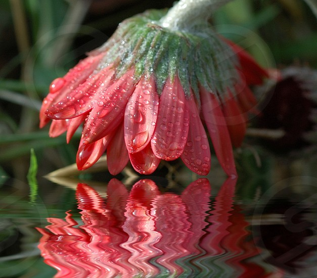 flower reflection photo