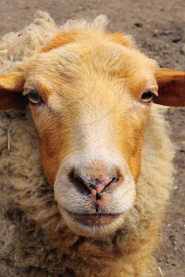 brown goat animal photo