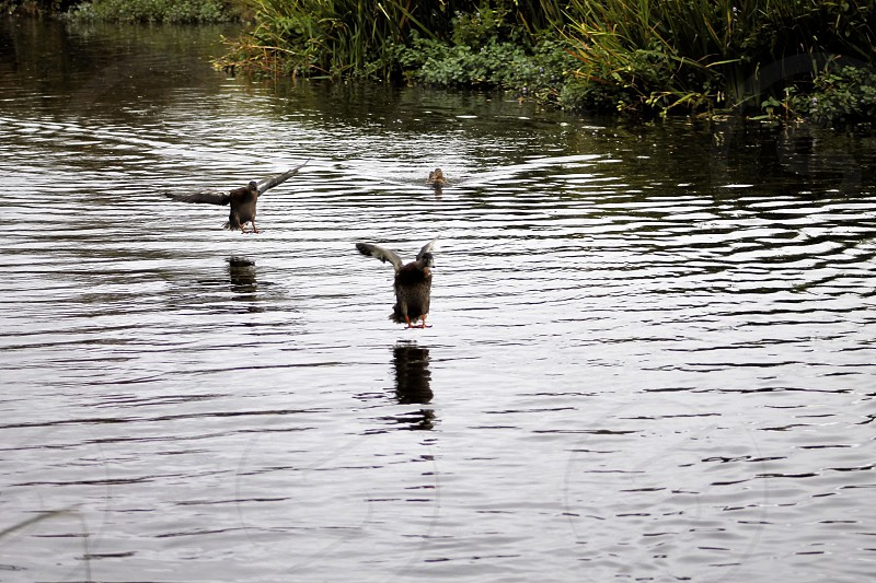 Watch out boys here we come! Duckdrakeinflightlandingnaturewater photo