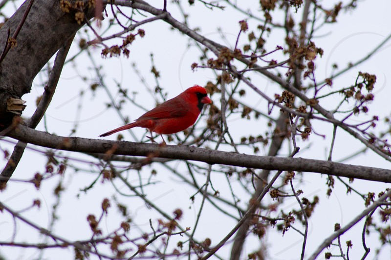 red cardinal on gray tree branch photo