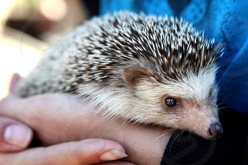 A woman holds a pet hedgehog.  Small tiny little soft spiny face cute quills blue cuddle animal creature friend trust careful safe  photo