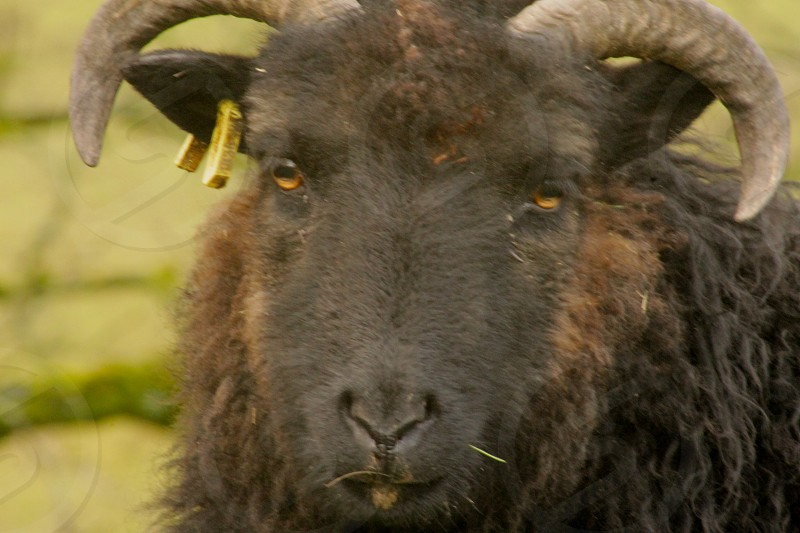 Black Sheep Close up photo