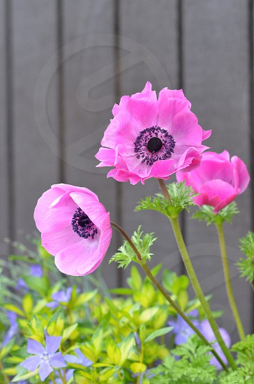 Spring poppies photo