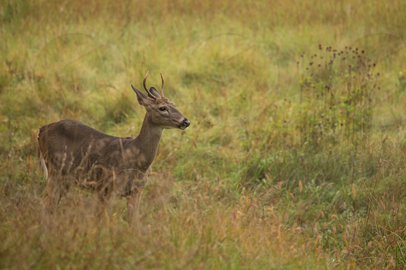 deer young fall field wildlife meadow photo
