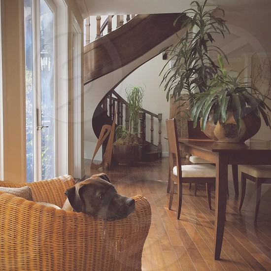 brown dog leaning on woven chair photo